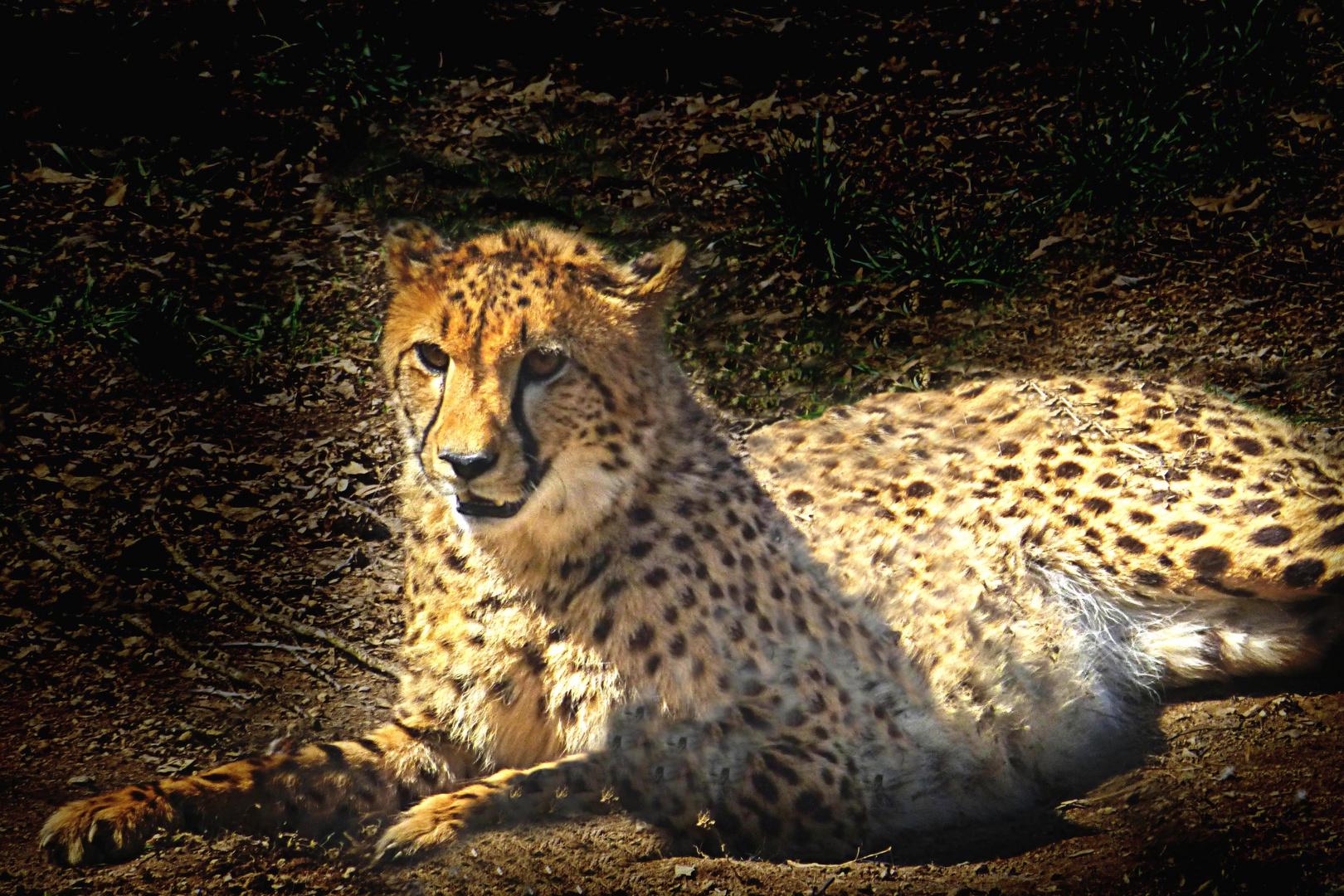 Gepard (Zoo Neuwied)