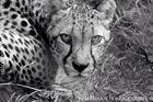 Gepard_001