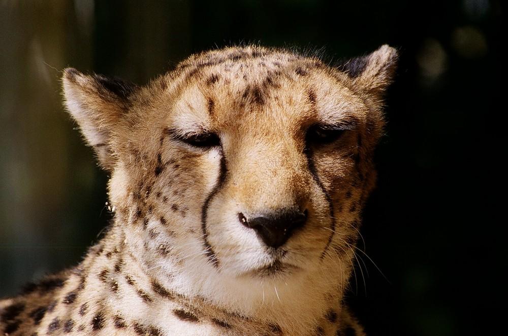 Gepard_1