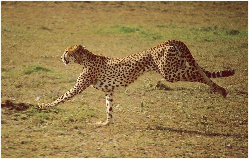 Geparde bei der Jagd 3