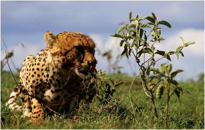 Geparde bei der Jagd 9