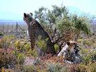 Geparde in Inverdoorn Südafrika