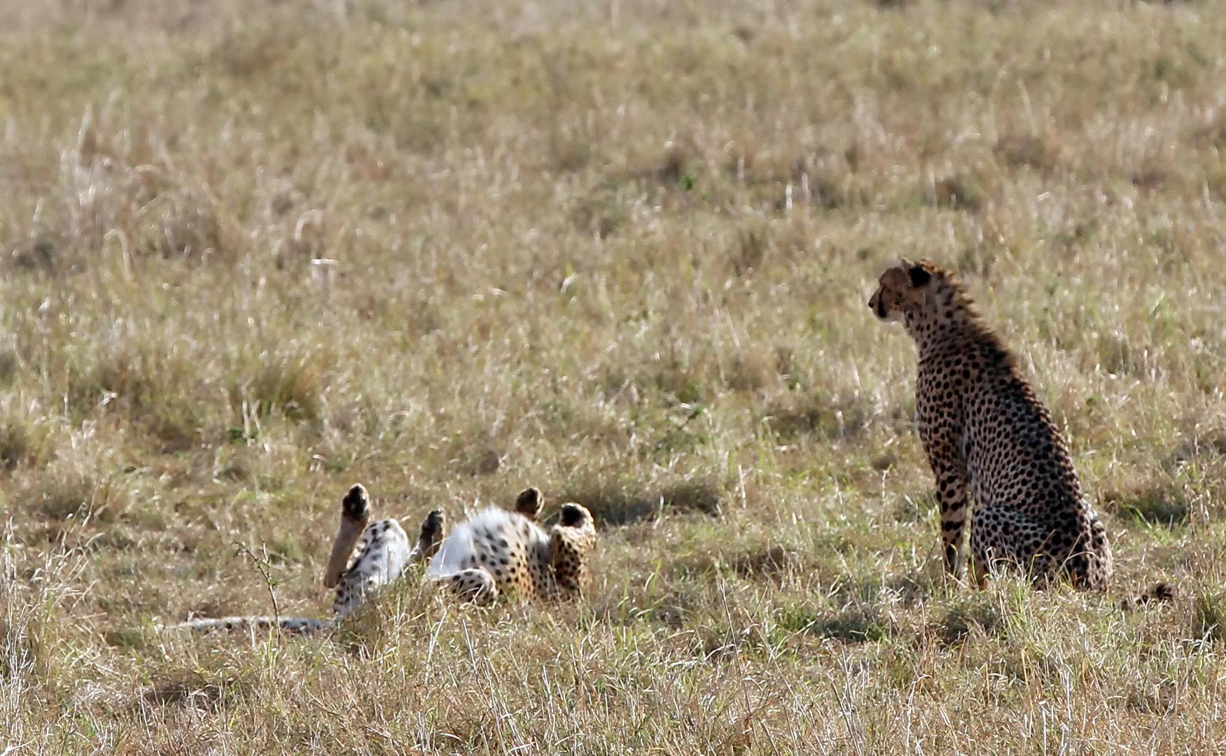 ............Geparden ...1....