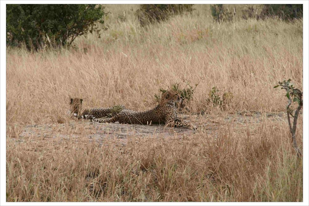 Geparden - auch nicht viel aktiver als die Löwen.