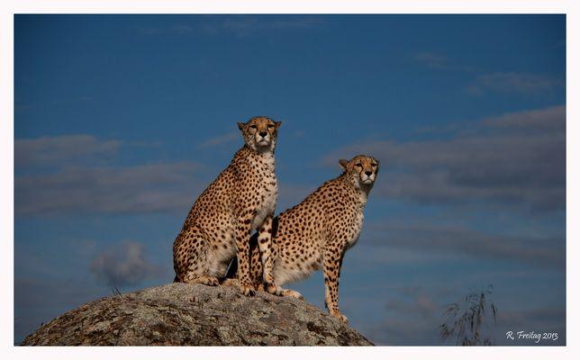 Geparden-Aussicht