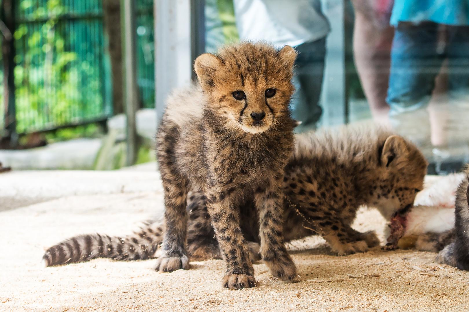 Geparden-Baby
