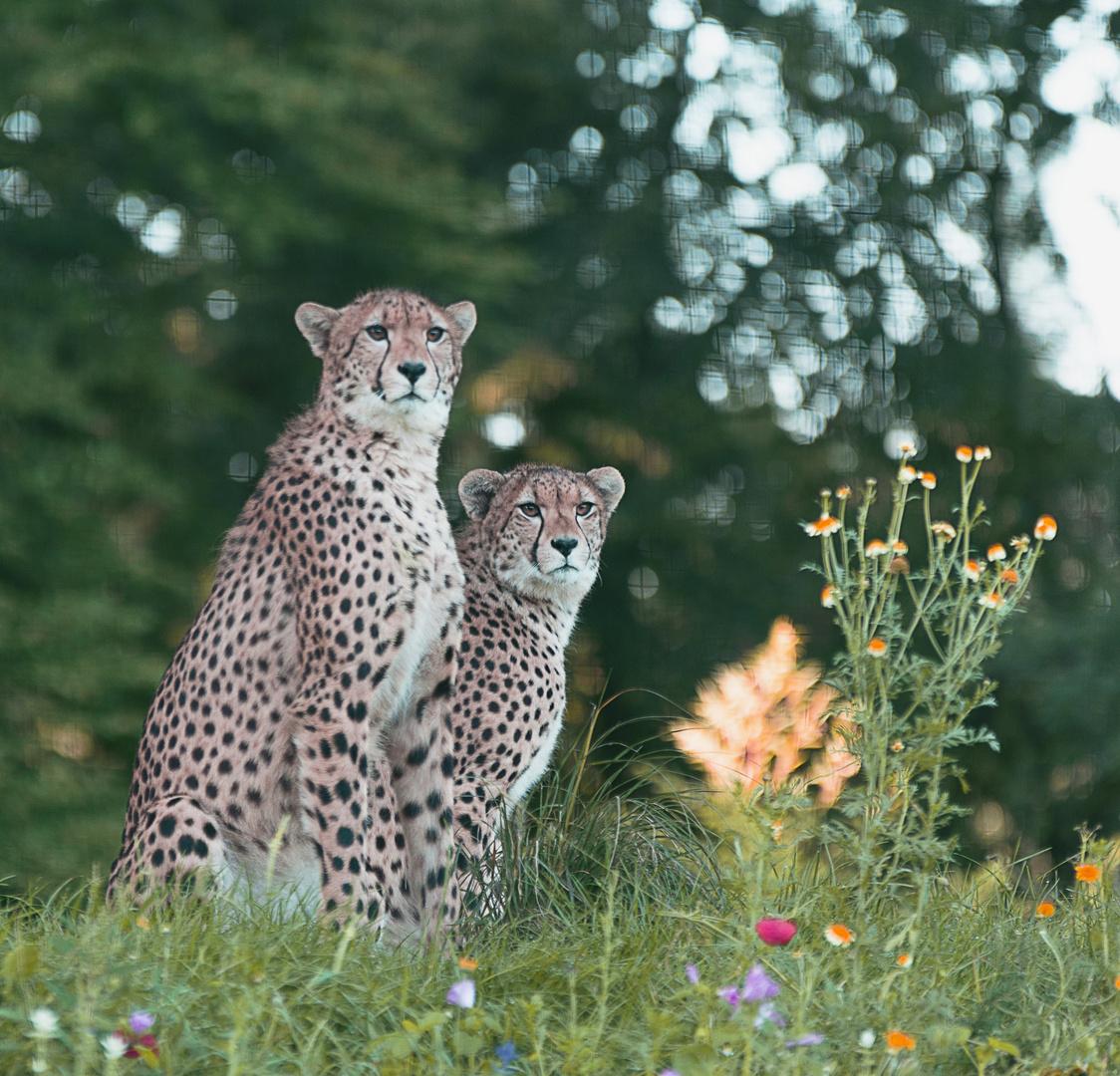 Geparden Brüder