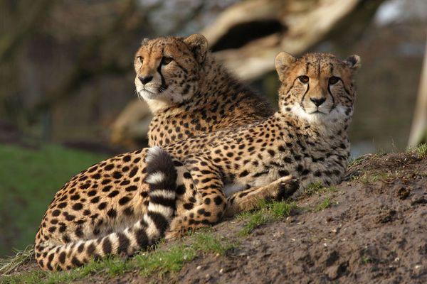 Geparden-Geschwister