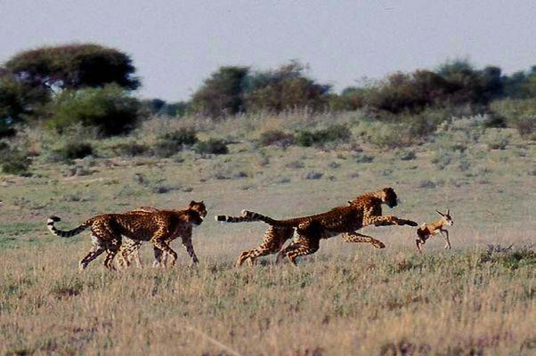 Geparden im CKGR