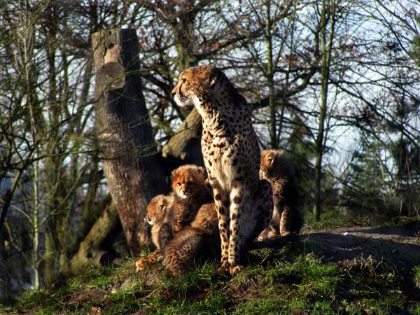 Geparden Kinder