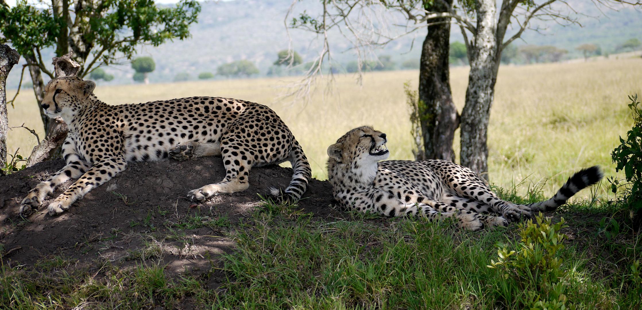 Geparden , Mutter und Sohn