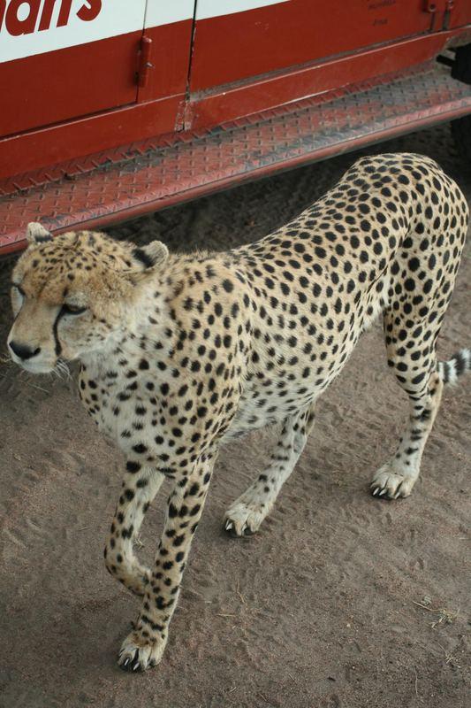 Geparden- Papa