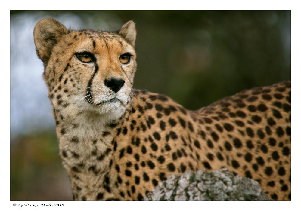 Geparden - Parade IV