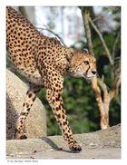 Geparden - Parade V