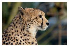Geparden Portrait