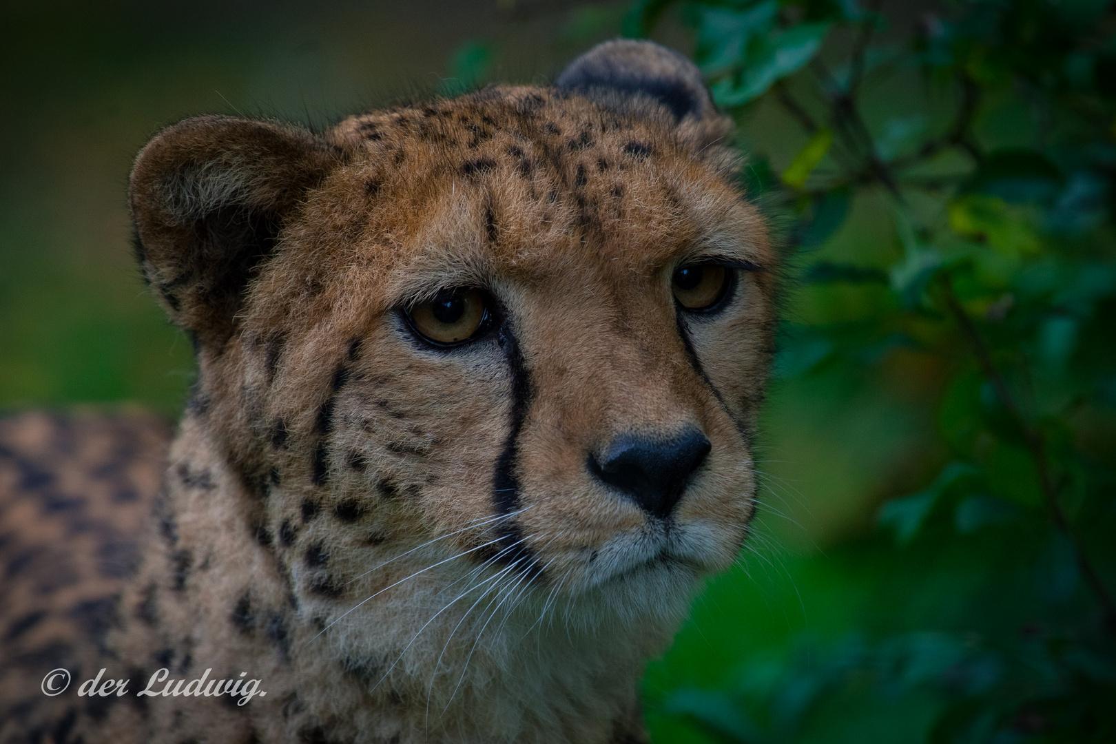 Geparden-Portrait