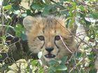Gepardenbaby