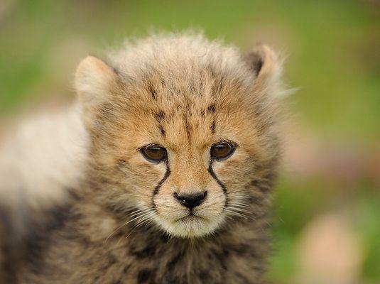 Gepardenbaby Close-up