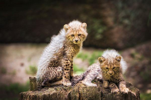 geparden.babys