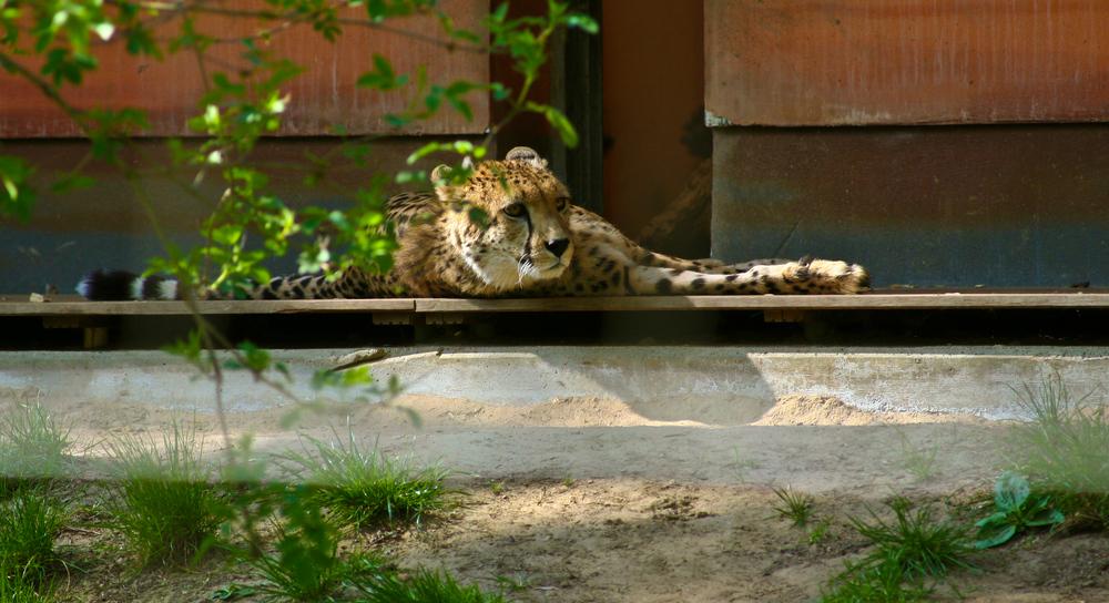 Gepardenblick- zu entdecken im Rostocker Zoo