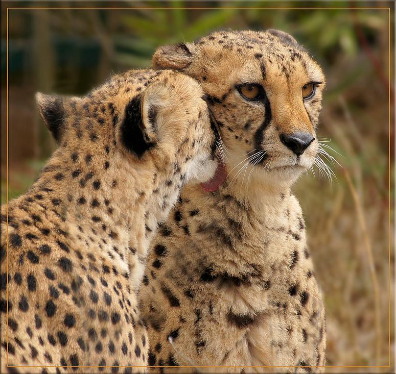 Gepardenfrühling