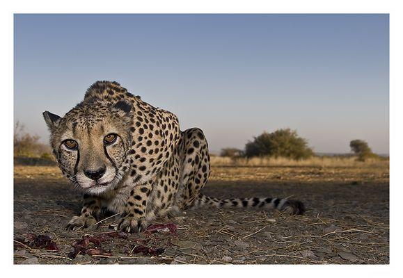Gepardenfütterung bei Noltes