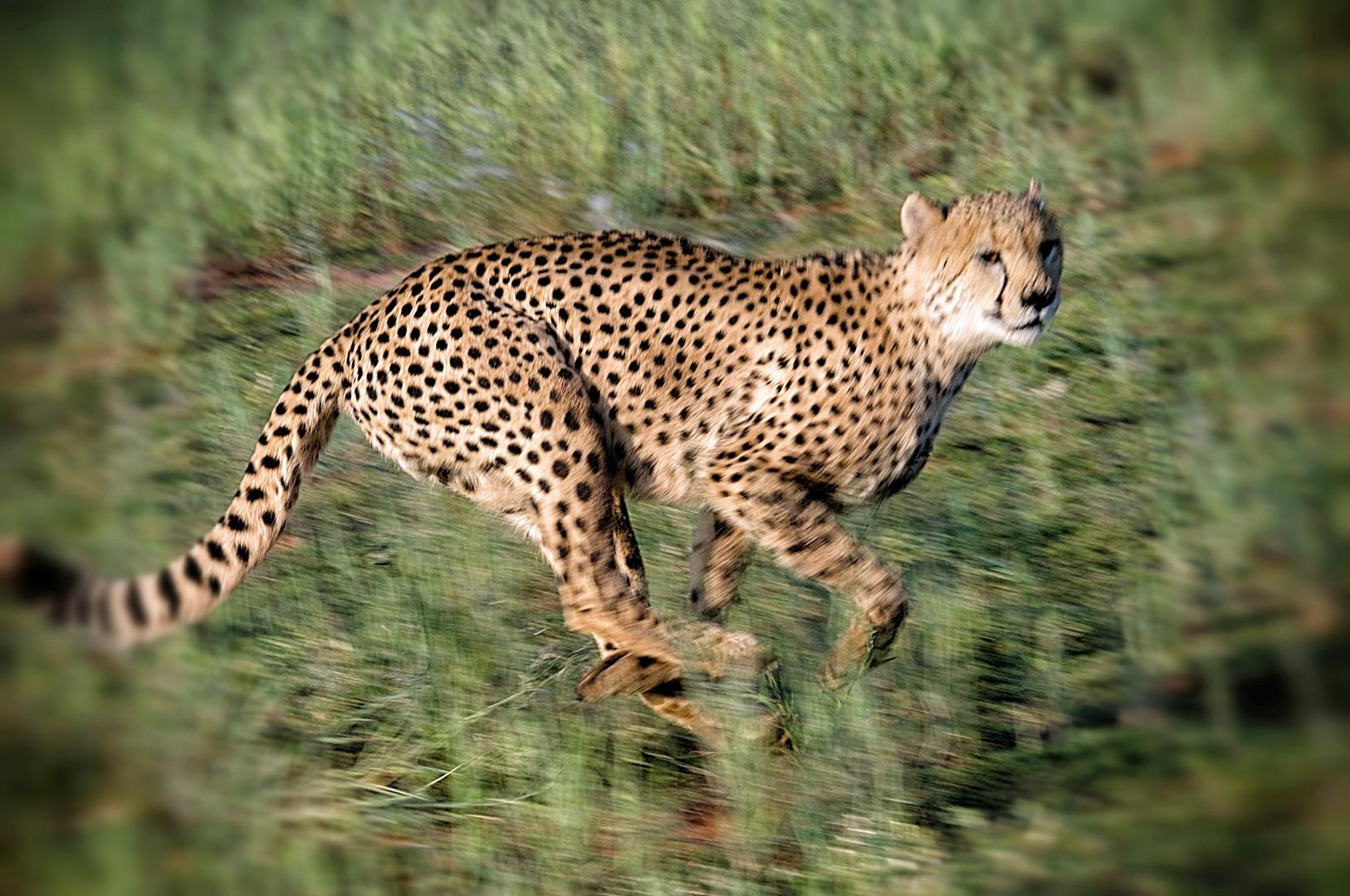 Gepardengeschwindigkeit in Namibia