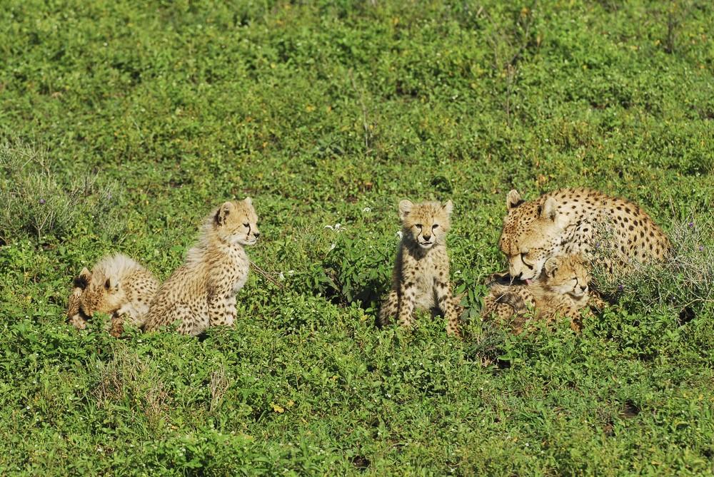 Gepardenjunge