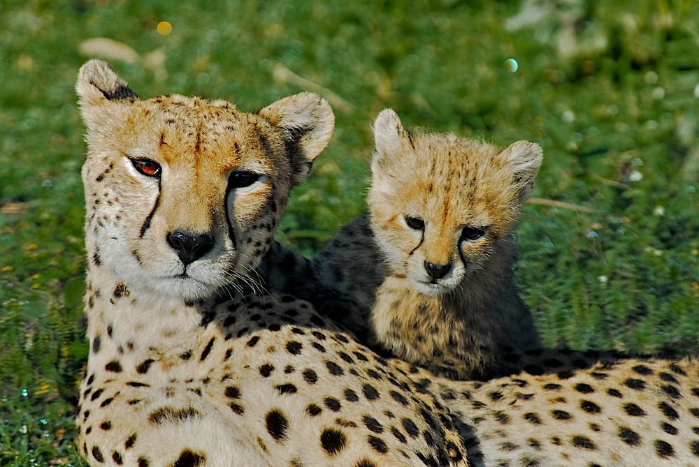 Gepardenjunges mit Mutter