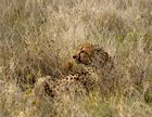 Gepardenkater