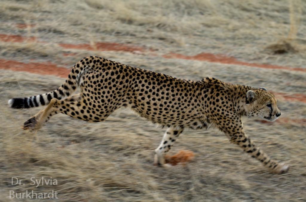 Gepardenlauf