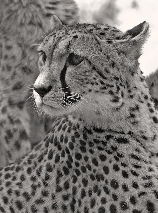 Gepardenmama...