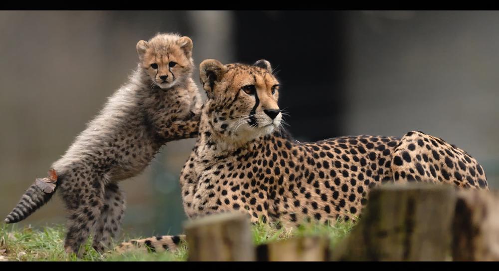 Gepardenmutter mit Junges