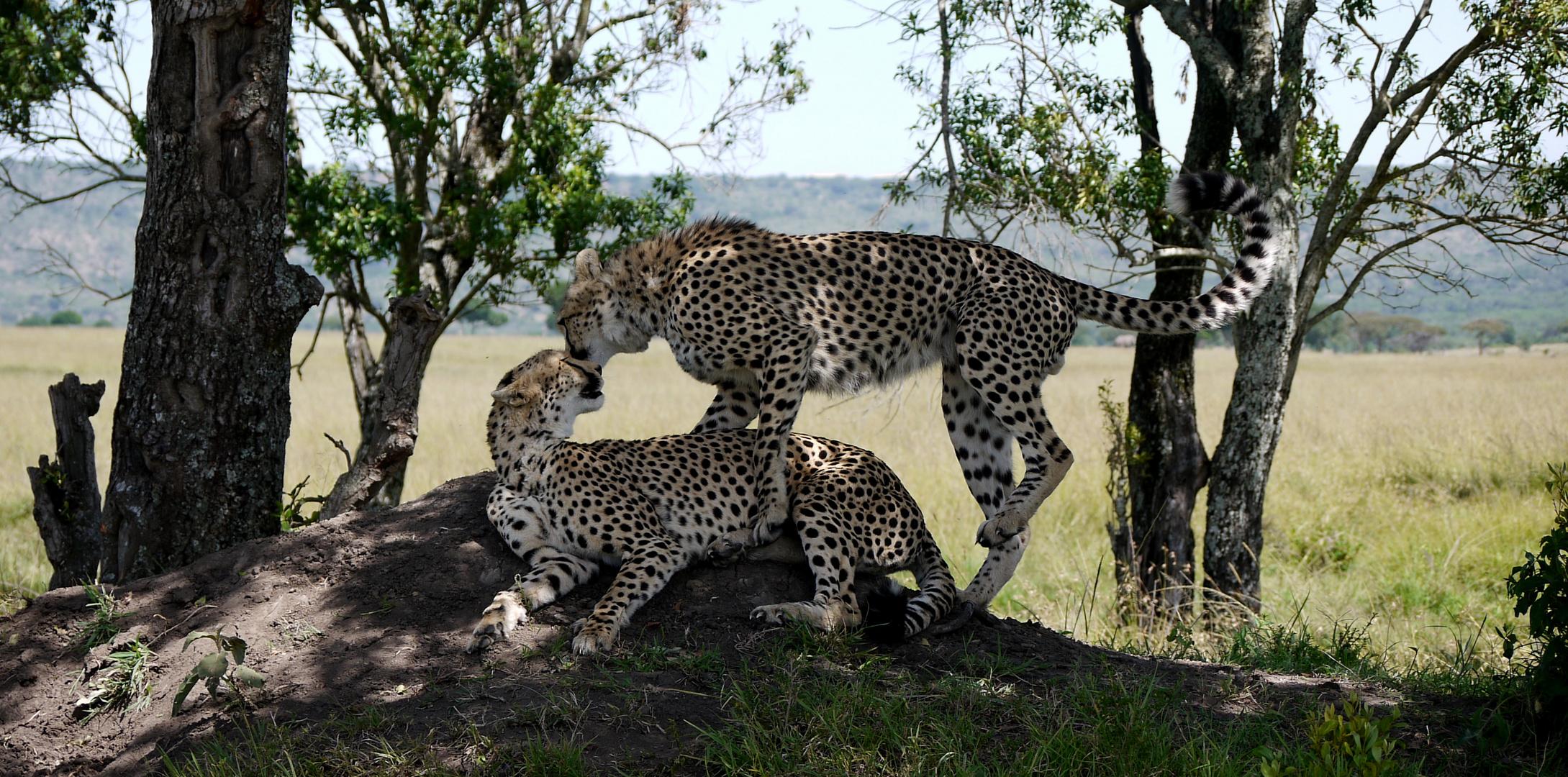 Gepardenmutter mit Jungtier
