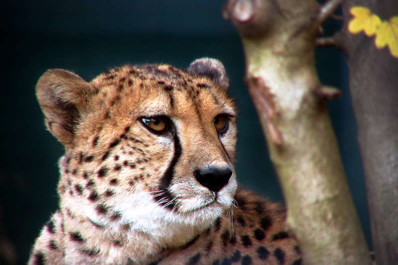 Gepardenweibchen im Krefelder Zoo