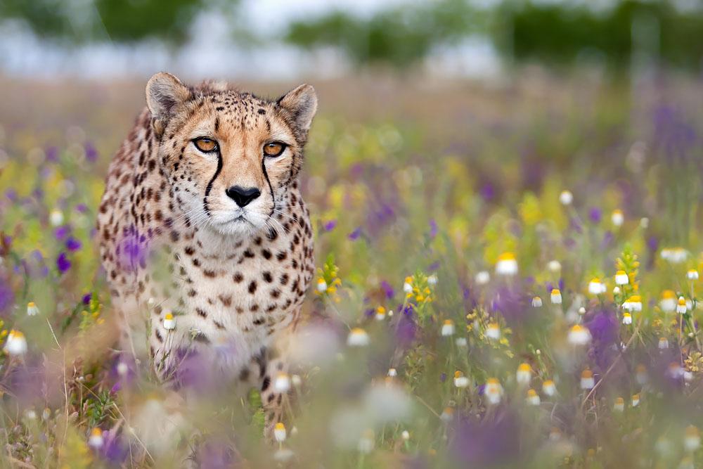 ...Gepardin im Blumenmeer...