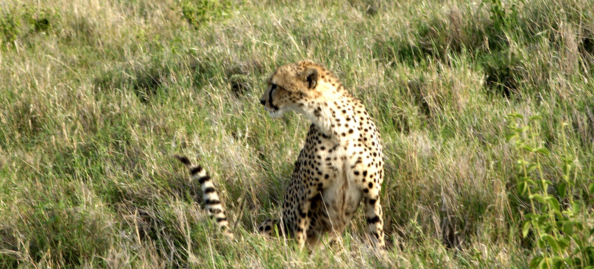 Gepardin, Lewa Downs