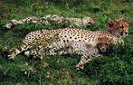 Gepardin mit Jungen