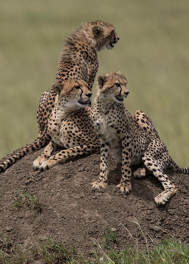 Gepardin mit Nachwuchs