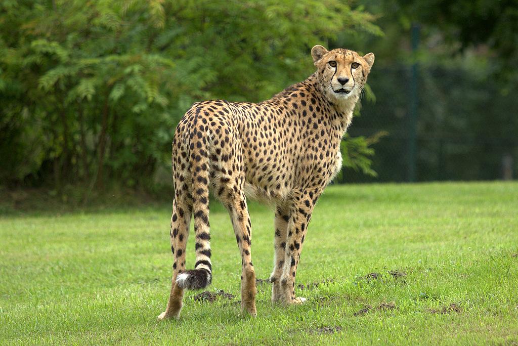 Gepardin Namoja