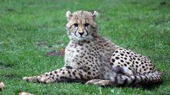 Gepard_Nachwuchs