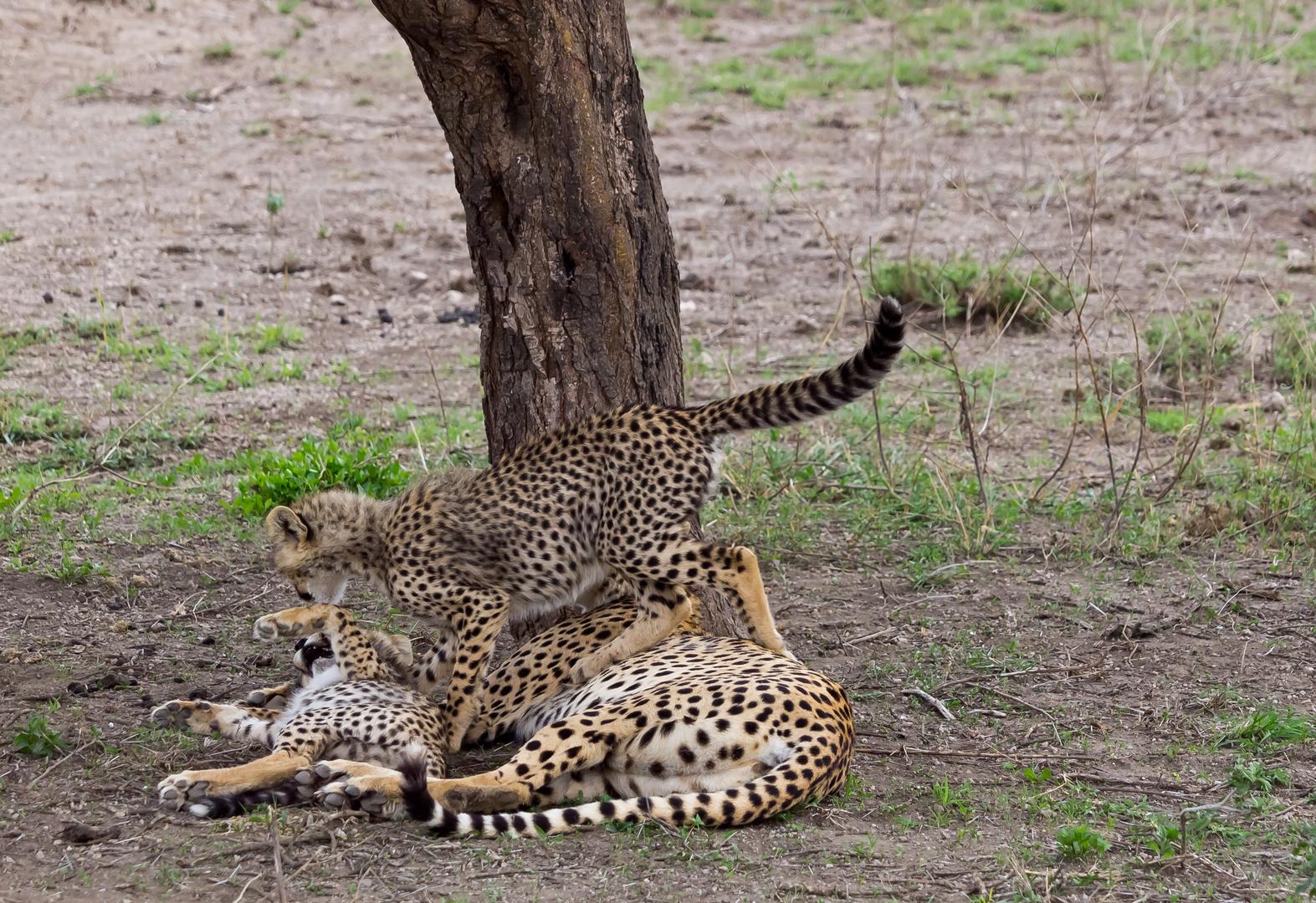 Gepard....Nenn mich noch einmal Tollpatsch...