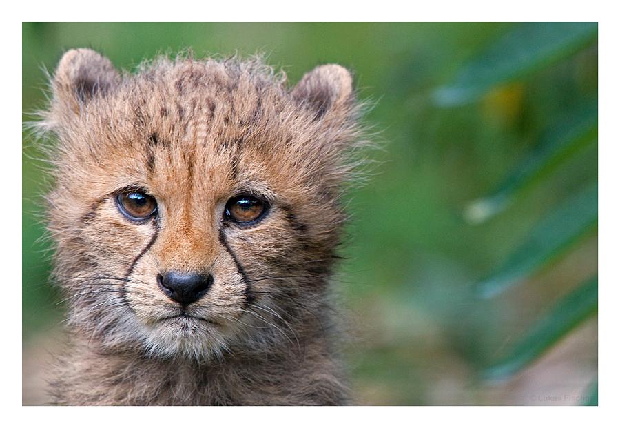 Gepard....sehr klein... :-)