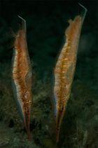 Gepunktete Schnepfenmesserfische - Aeoliscus punctulatus
