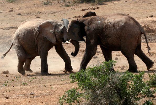 Gerangel halbstarker Elefanten