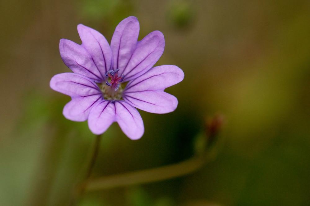 Geraniacea - Geranium pyrenaicum