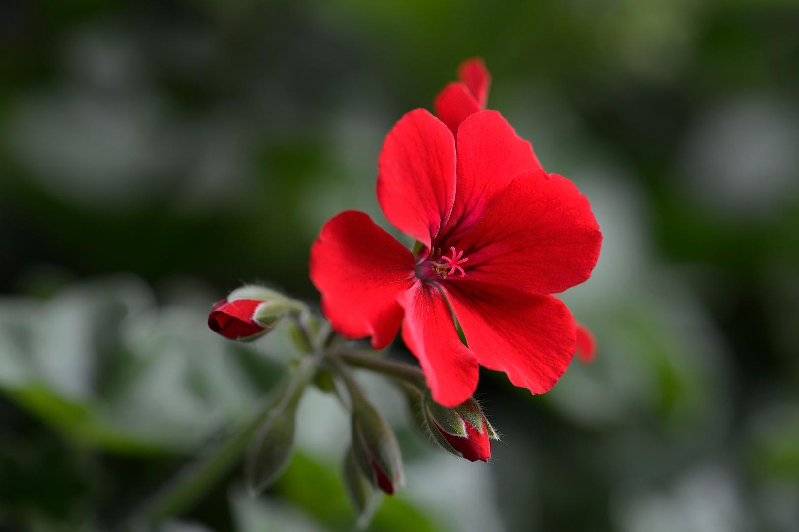 Geranien Blüte