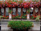 Geranien - Blumenpracht