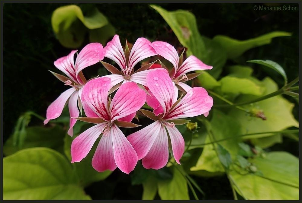 Geranienblüte