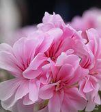 geranios frescos en rosa